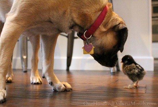lucy puggle dog chicks
