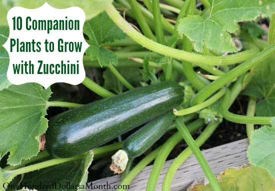 10 Companion Plants to Grow with Zucchini