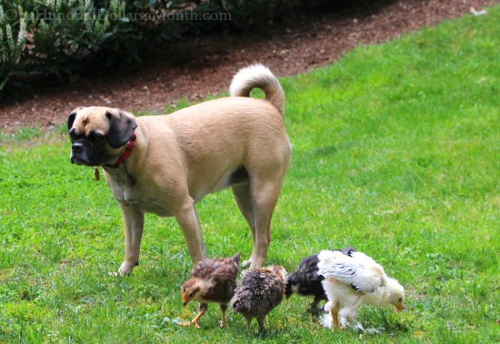 lucy puggle baby chicks
