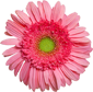 Image of Pink Gerber Daisy