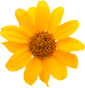Image of Yellow Gerber Daisy