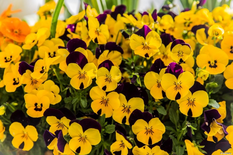 Violas: A blaze of colour to announce that Spring is here!