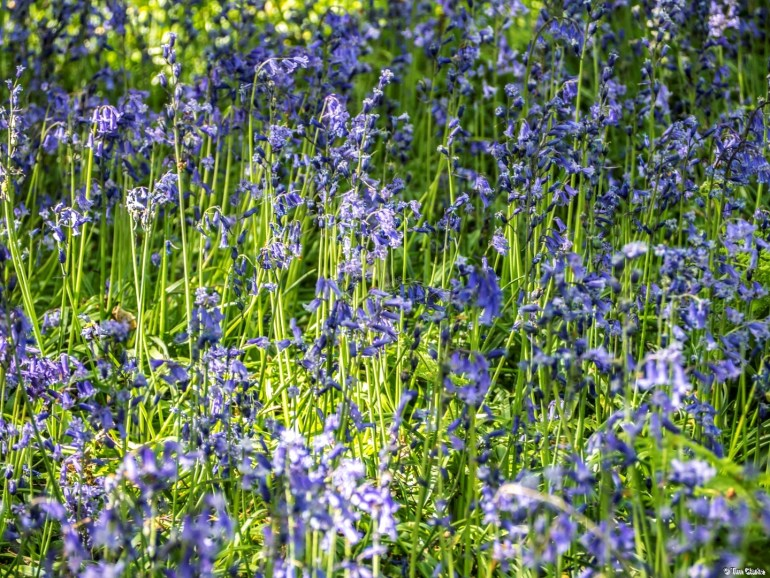 Bluebells: Carpet of flowers in the woods.