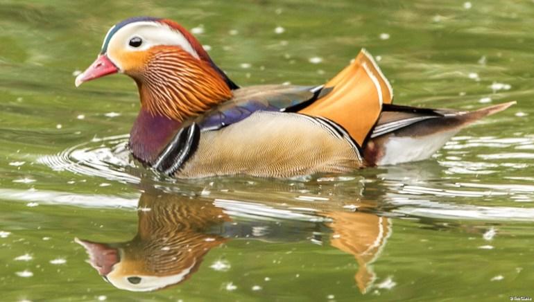 Mandarin Duck: Splash of Colour on the Waterway.