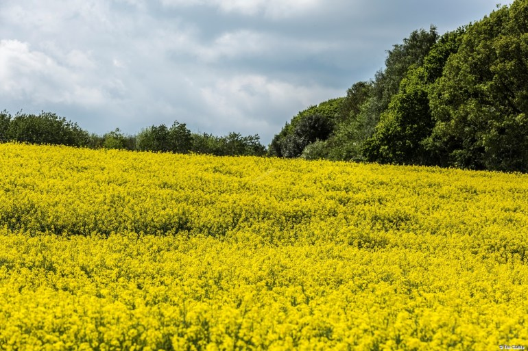 Rape: Golden Yellow Fields.