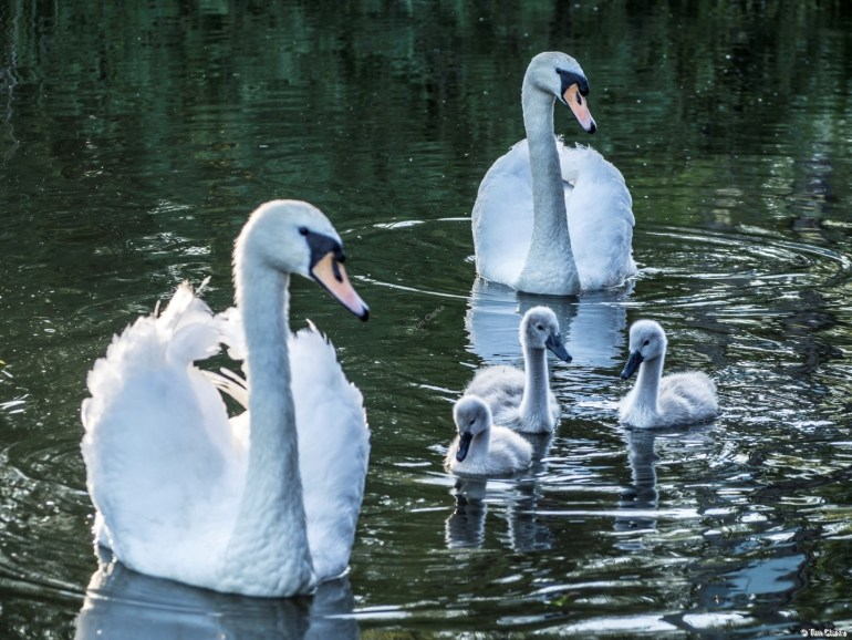 Swan Family: Swans and their Cygnets.