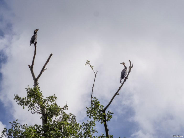 Cormorants: Tree with a View!