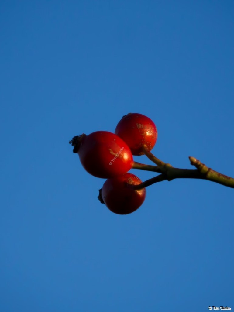 Rose Hips: Red contrasting the blue sky.