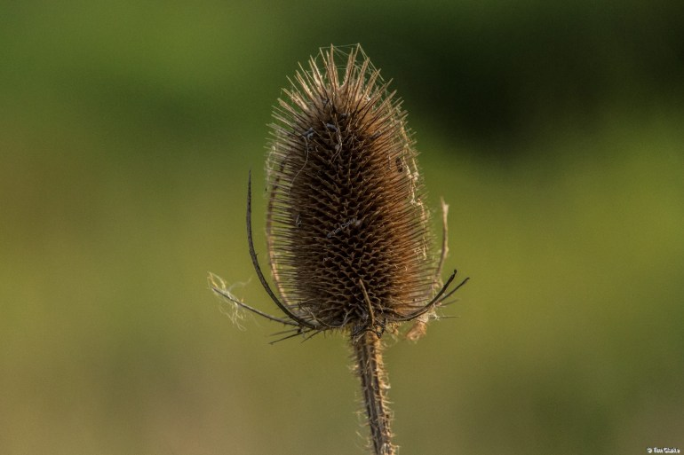 Teasel: Dipsacus - member of the Caprifoliaceae family.