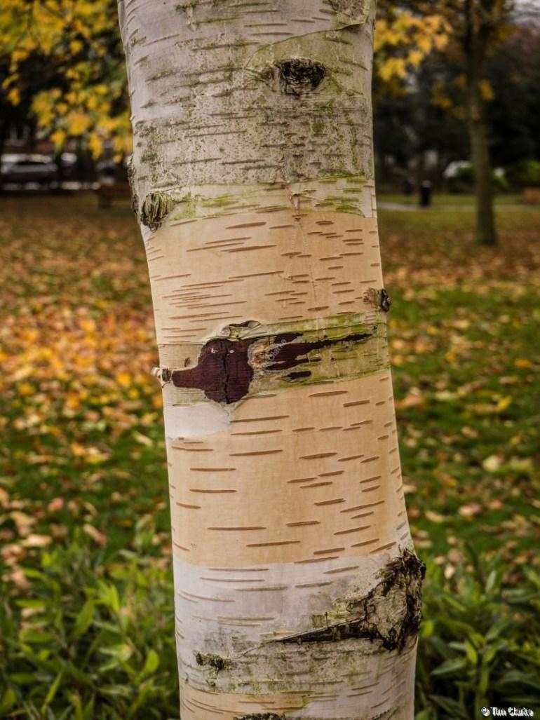 Silver Birch Tree: Astoundingly beautiful patterns.
