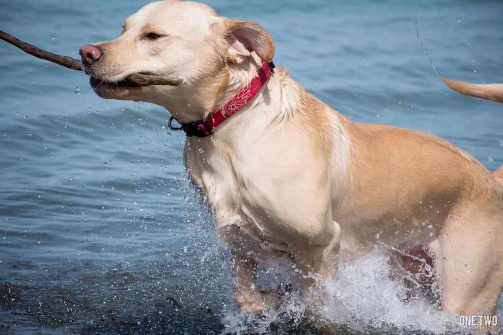 pet portrait labrador swimming