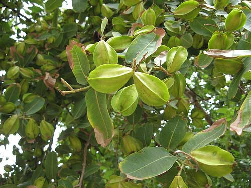 Check out!! Trees that are primarily grown in India and their benefits