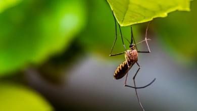 can mosquitoes spread covid 19