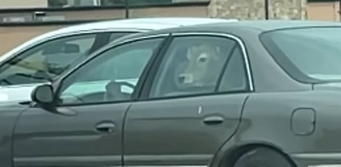 cow in car
