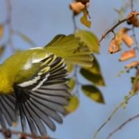 Iora,That Little Yellow Bird!