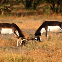 Most beautiful Indian Antelope, The Blackbuck
