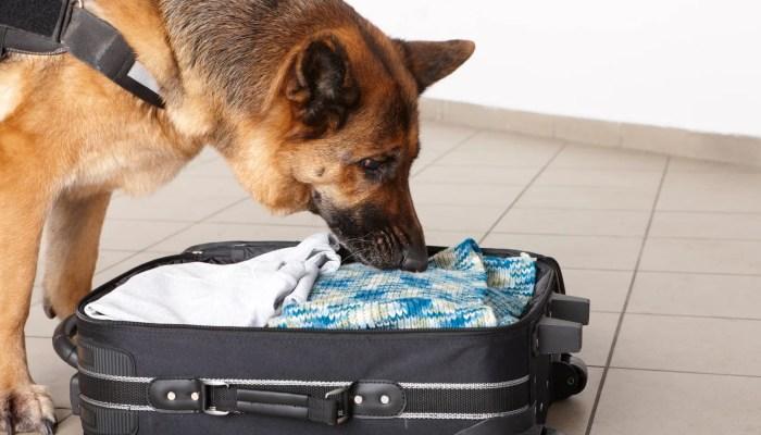 Hond uit België spoort bedwantsen op