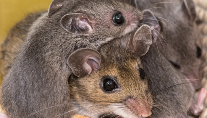 Tips om een muizeninvasie te voorkomen
