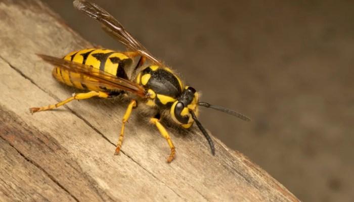 In Australië vormen bijen en wespen evenveel gevaar als slangen
