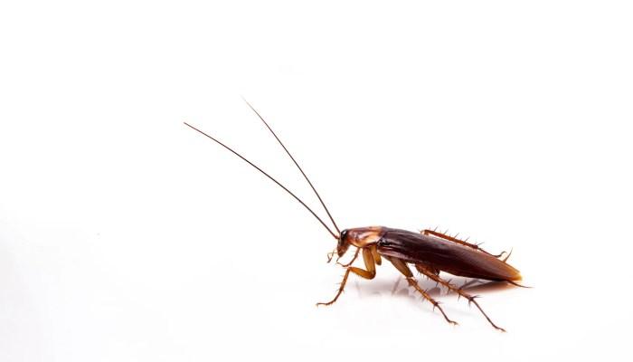 Kakkerlakken, een bijzonder insect
