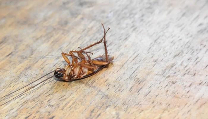 Kakkerlakken zelf bestrijden