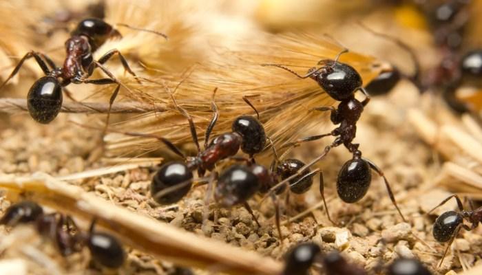 Australische mieren sjouwen zaden over honderden meters
