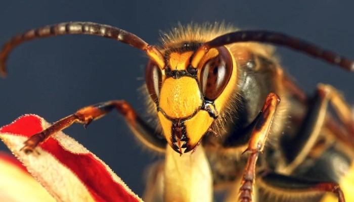 Aziatische hoornaar, alias de massamoordenaar