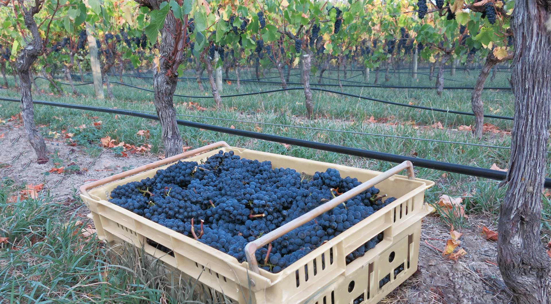 On Giants' Shoulders Basket of Pinot Noir grapes