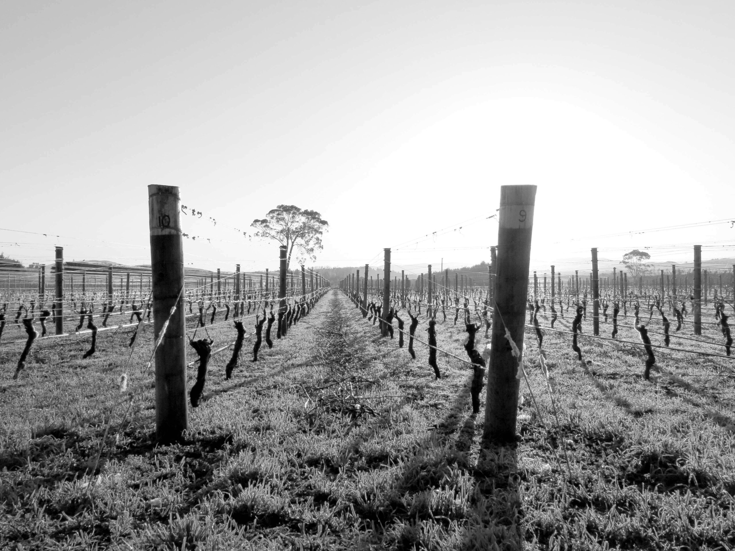 On Giants' Shoulders Winter Vineyard