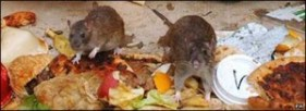 Rat Control - Rats rummaging through garbage