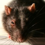 Rat Control - Brown rat
