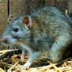 Rat Control - Norway rat