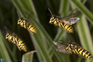 Wasps in formation flight.