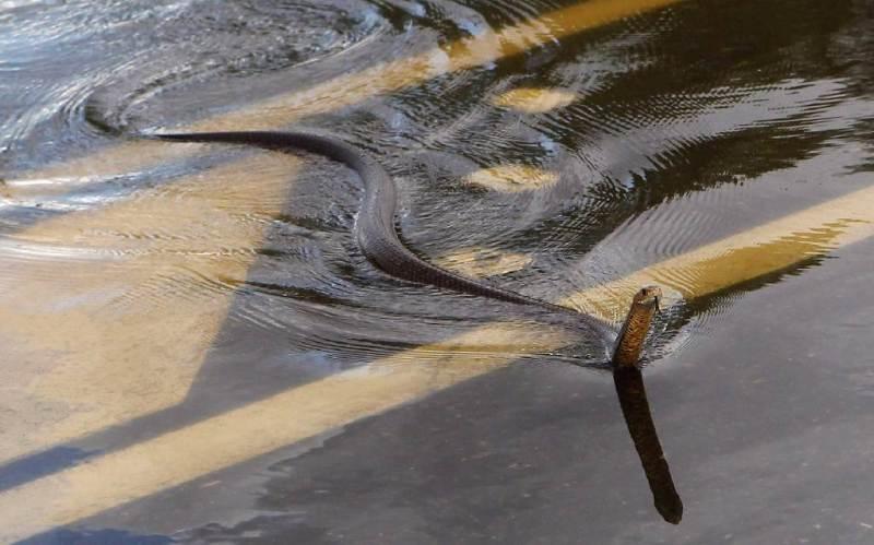 Άλλα δύο φίδια απομακρύνθηκαν από τη γέφυρα του Αλκαζάρ