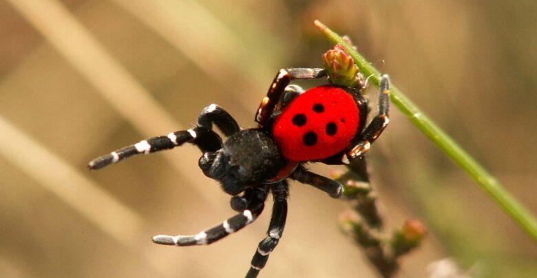 Δείτε φωτογραφίες: Σπάνιο είδος αράχνης – πασχαλίτσας εμφανίστηκε στη Λάρισα!