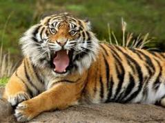 Can you believe it's legal…? Pet Tigers