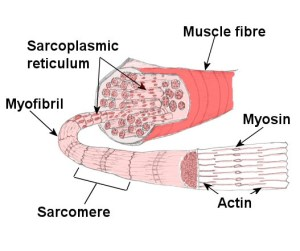 Muscular system , Structure of skeletal muscle , Muscles