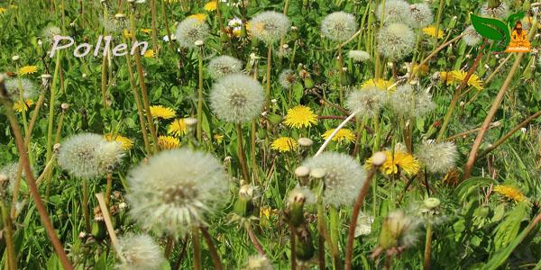 hey fever Pollen