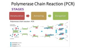 Polymerase chain reaction (PCR): Principle, procedure or