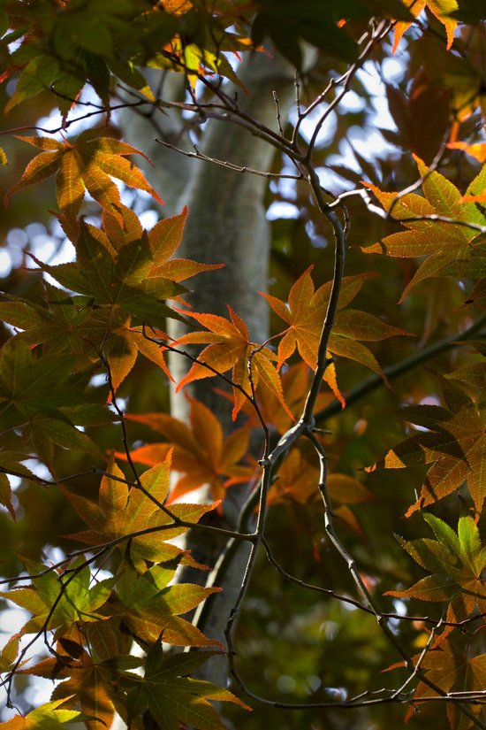 japanese maple leaves fall colors by Clara James