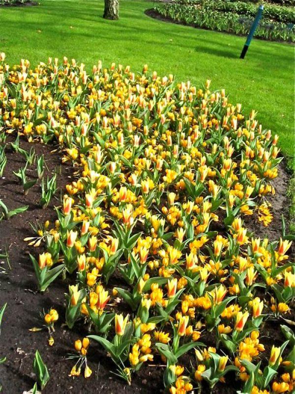 Tulip, Crocus - Copyright https://www.onlineflowergarden.com