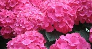 Flower - Pink Hydrangea