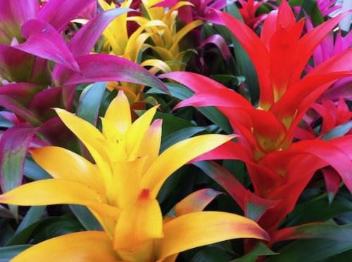 Bromeliad Copyright https://www.https://www.flowergarden.com