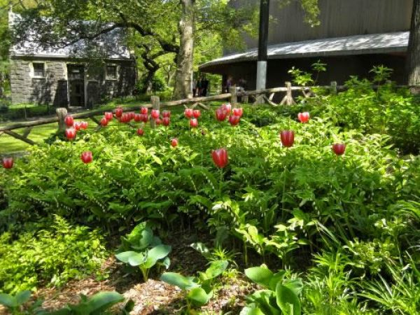 Tulips at Central Park