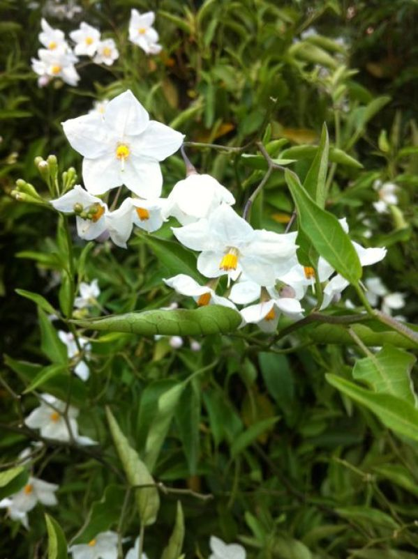 Potato Vine or Solanum jasminoides