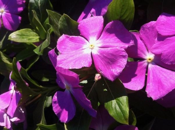 Vinca or Catharanthus Roseus