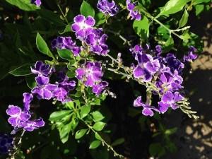 Duranta Repens onlineflowergarden.com