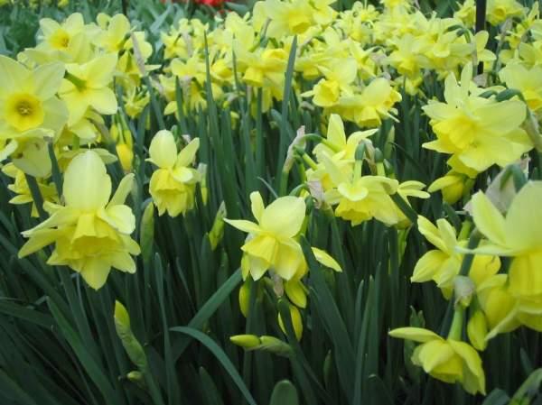 Daffodils onlineflowergarden.com