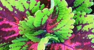 Coleus © onlineflowergarden.com