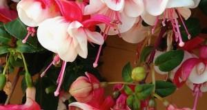 Fuchsia © onlineflowergarden.com